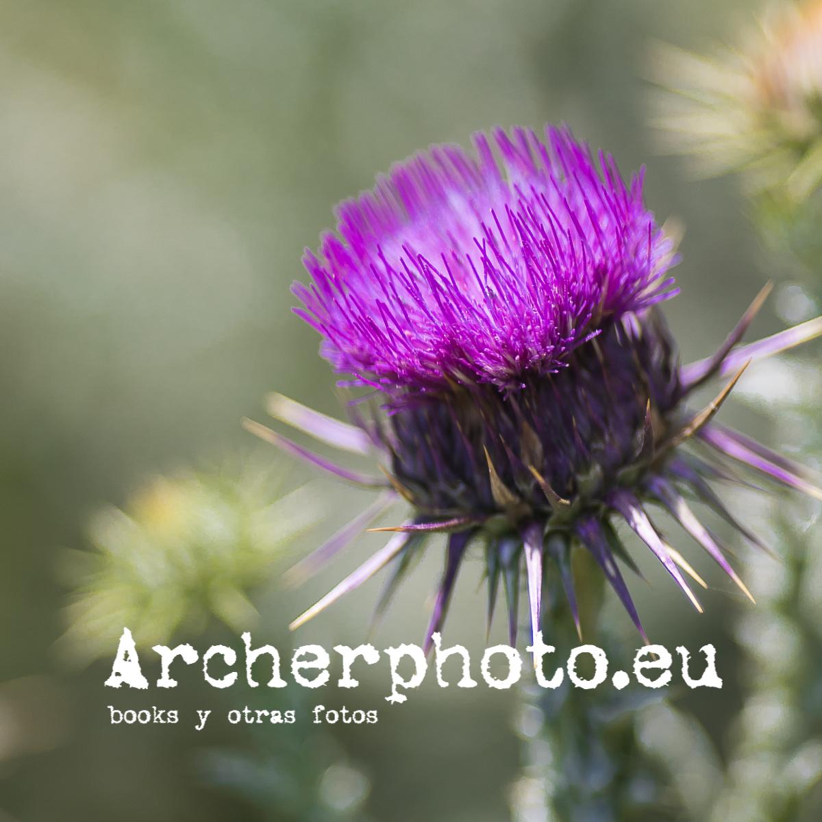 Cardo (1) por Archerphoto, fotografía en València